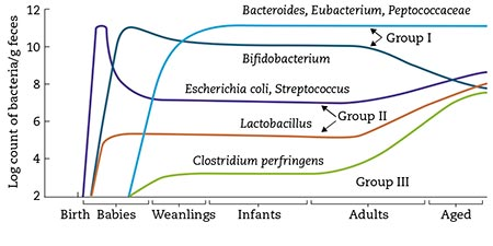Figura 2 – Cambios en la microbiota fecal con el aumento de la edad. (Tomada de: Mitsouka T. Establishment of intestinal bacteriology. Biosci Microbiota Food Health. 2014; 33: 99-116).